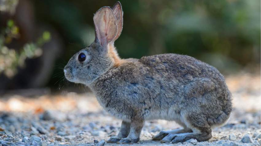 rabbit pictured in the desert