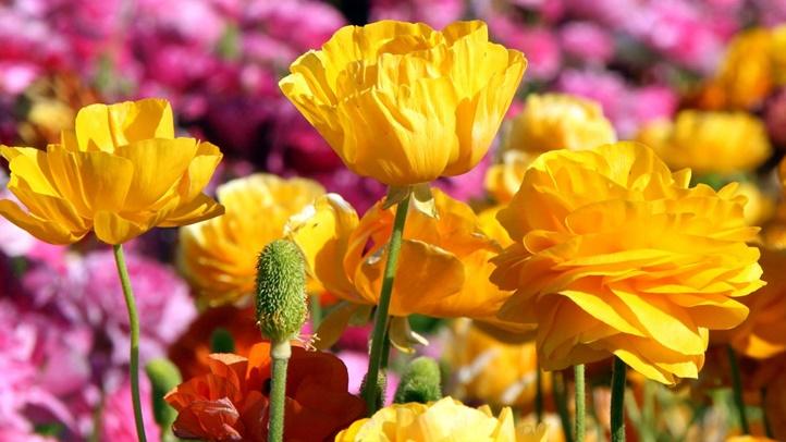 flowerfieldsyellowranunculus