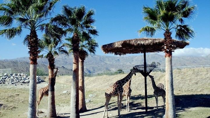 giraffelivingdesertvisitcalifornia