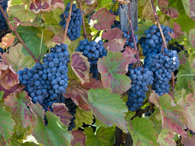 grapes_winery