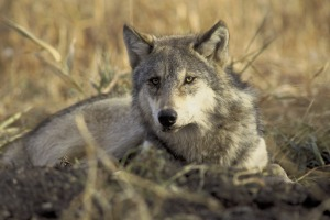 graywolf-by-john-and-karen-hollingsworth-usfws1