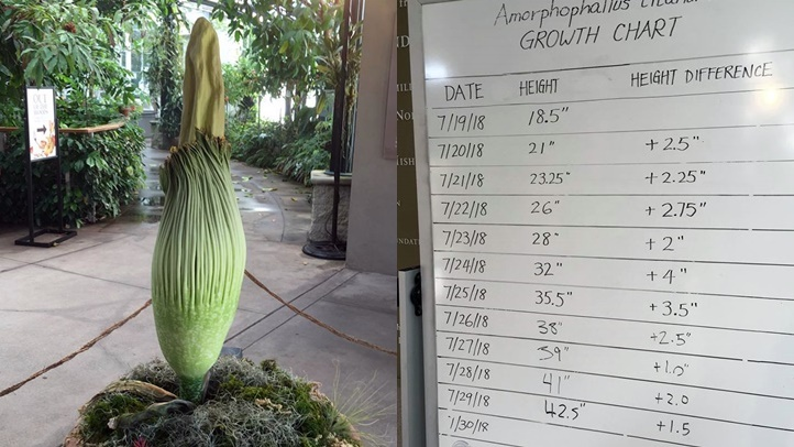 huntingtonjuly2018corpseflower
