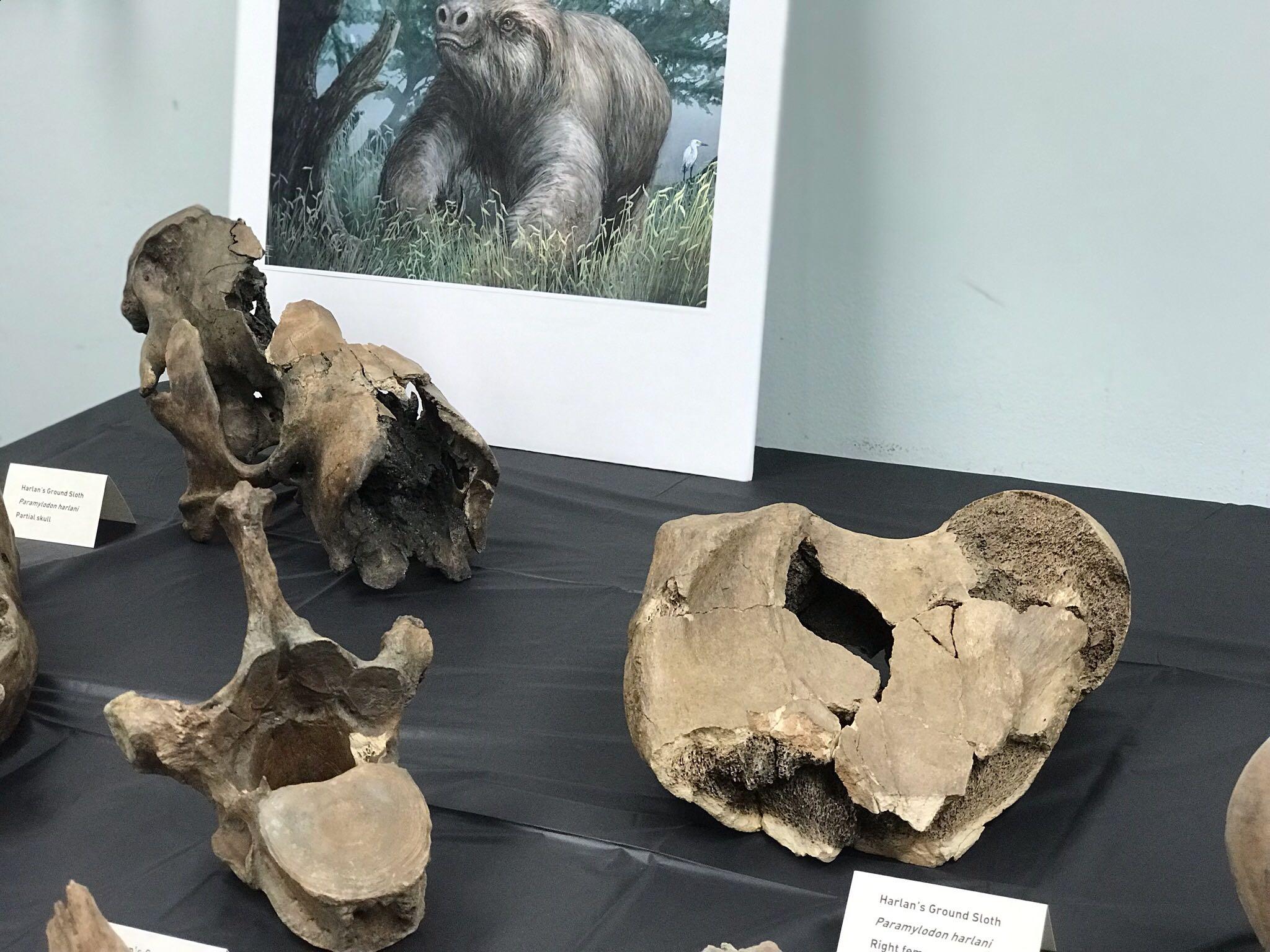 Ice Age Fossils on Display at La Brea Tar Pits – NBC Los ...
