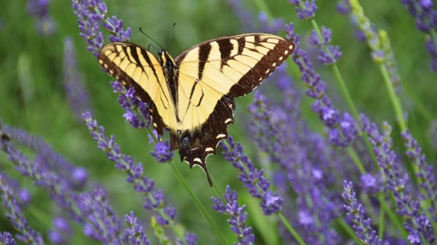 lavender016