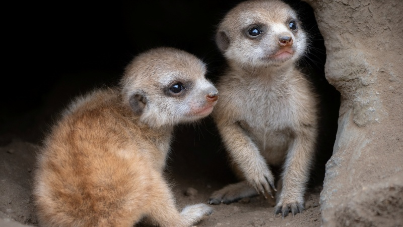 Baby Meerkats Debut at LA Zoo