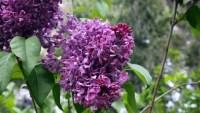 Take a Virtual Stroll Through a Cloud of Local Lilacs