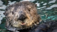 Millie the Sea Otter Welcomed to Long Beach