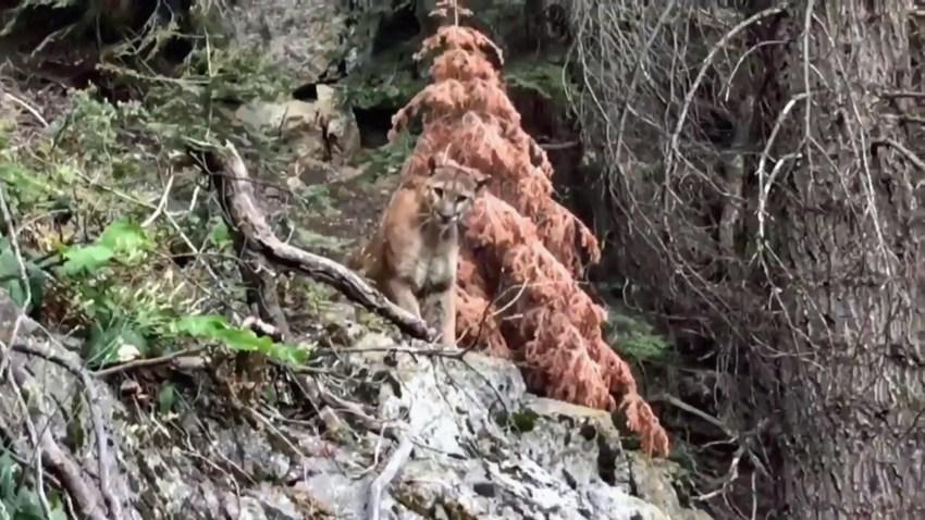 mountain lion-0807