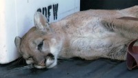 Mountain Lion Captured in Backyard of a Simi Valley Home