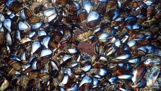mussels norcal