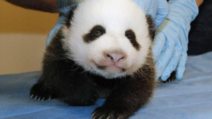 panda-cub-after-govt-shutdown1