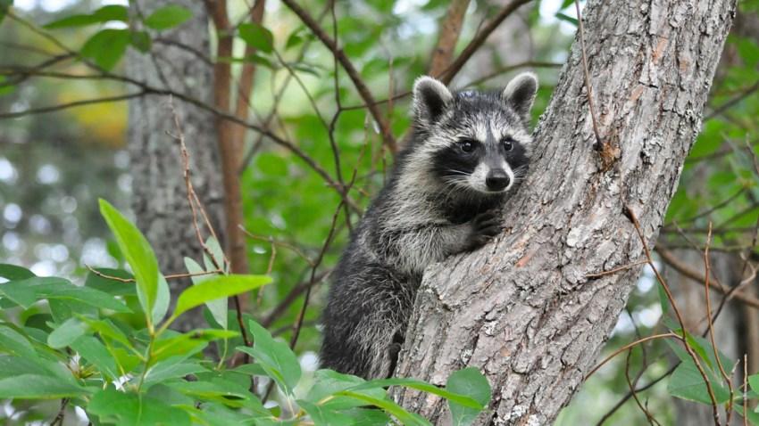 raccoon-shutterstock_120094420