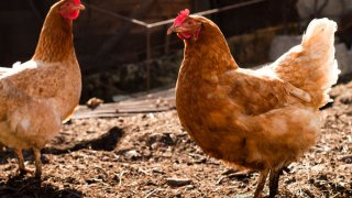 red farm chickens generic