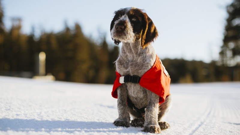Meet Remi, Mammoth's New Avalanche Rescue Pup