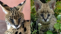 Sweet Sylmar Servals Are in the Stay-at-Home Spotlight