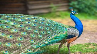 standard peacock