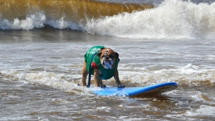 surfdogbulldog1
