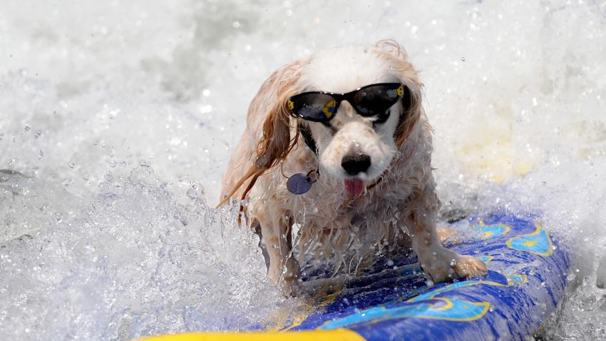 surfing-dog-p1-071008