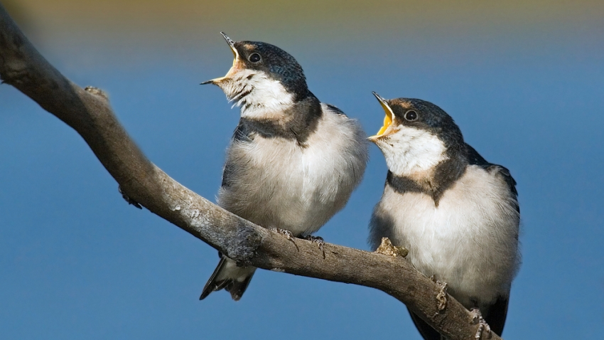 swallows squawking