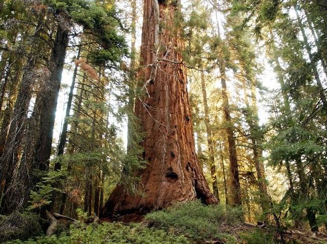 treesequoia_1176003