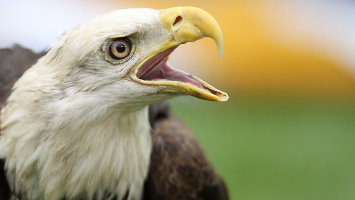 web-pic-bald-eagle