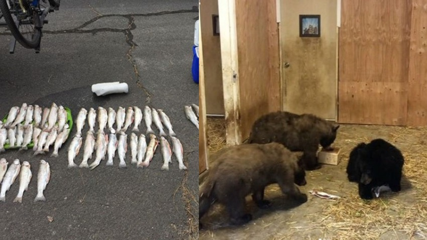 Trout and bears are seen in side-by-side images