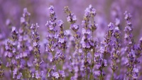 This Lavender Location Just Extended Its Summer Dates