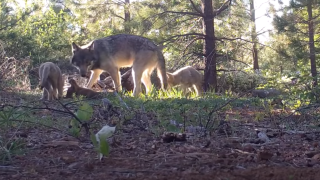 This remote video capture shows a female adult, a yearling, and three pups.