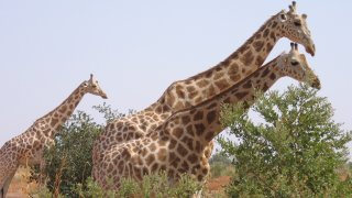 A picture taken on August 14, 2010 in Koure, next to Niamey shows Giraffes walking in the bush