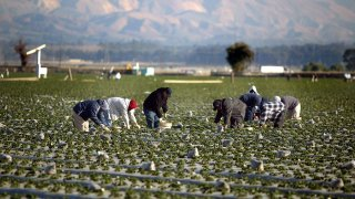 Farm workers collect strawberries at a field.