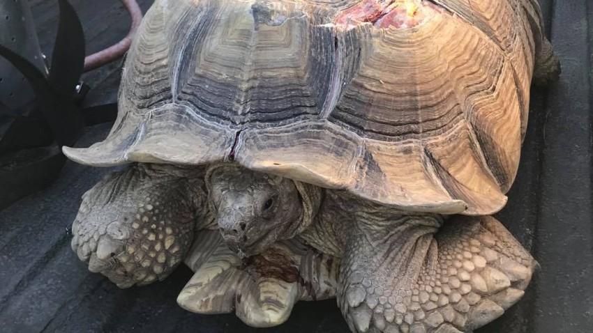 An injured tortoise that was struck on a highway in Central California.