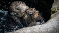 Sea Otter Awareness Week Makes a Splash
