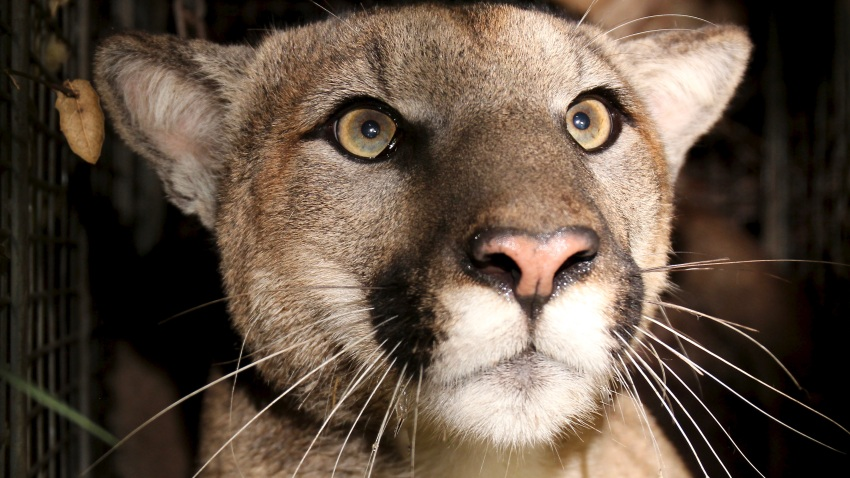 P81, first collared mountain lion to have reproductive and tail defects in Santa Monica Mountains.