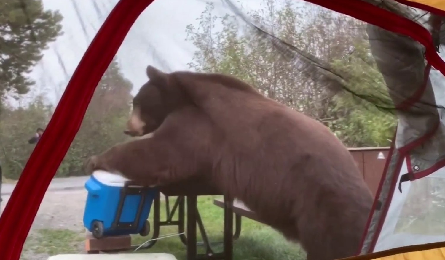 Watch: Large Bear Hits the Jackpot in California Campsite Raid