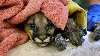 A mountain lion cub
