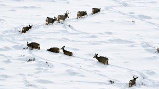 Mule deer in the snow.
