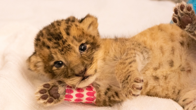 Meet Pauline, Santa Barbara Zoo's New African Lion Cub