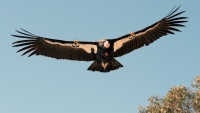Condors Will Soar Over San Simeon During a Live Release
