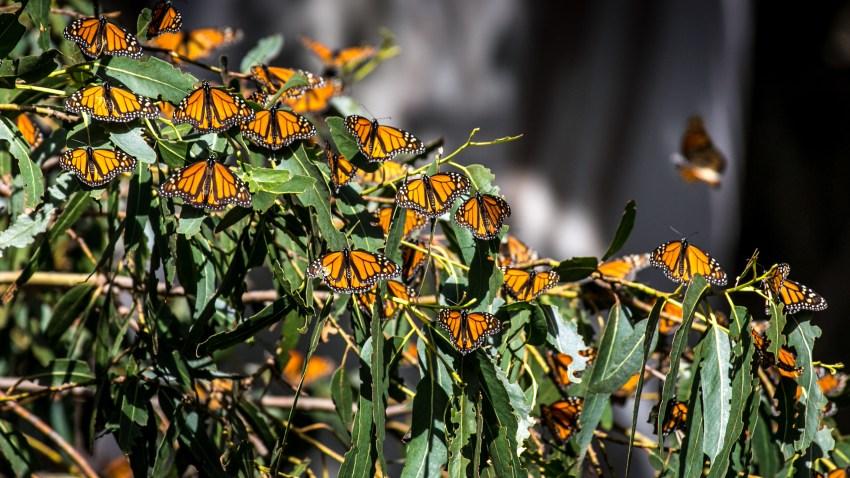 2018年1月17日,加州皮斯莫海滩,数千只君子兰蝴蝶聚集在皮斯莫州立海滩君子兰蝴蝶林的桉树上。(photo:NBCLA)