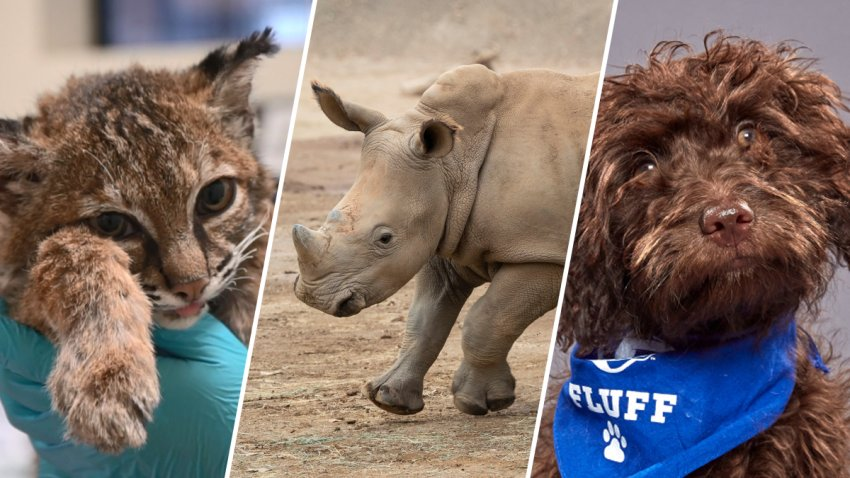 From left to right: A bobcat that survived the Ramona Fire, Edward the rhino, and a local puppy that was featured in Puppy Bowl 2020.