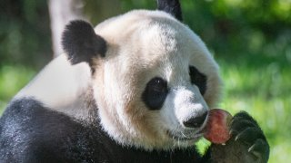 A giant panda eats an apple during snack time at the National Zoo.