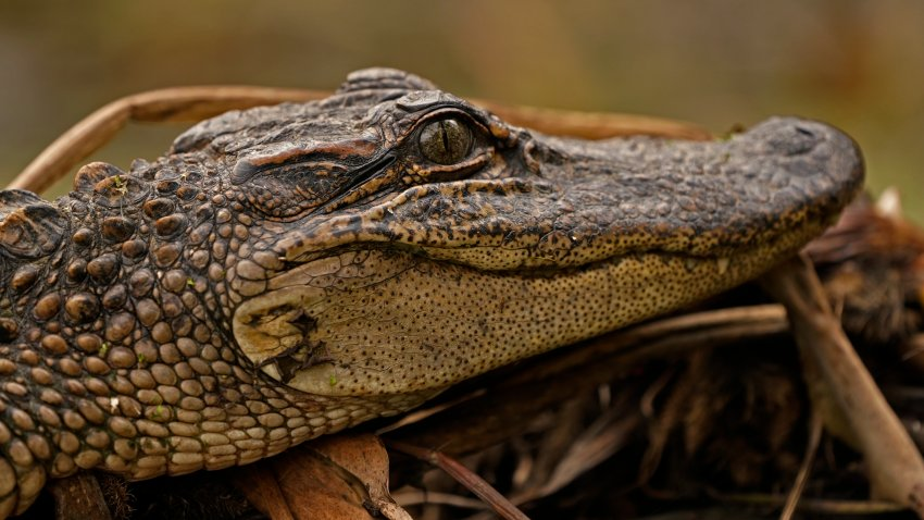 a small alligator sits on a log along a bank in the Maurepas Swamp in Ruddock, La.