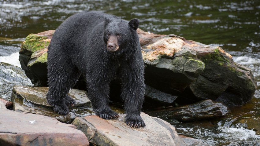 American black bear looking for salmon at creek.
