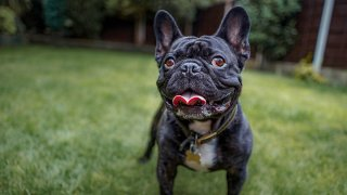 View of french bulldog standing on grass