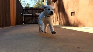 A Labrador retriever puppy romps in this undated photo.