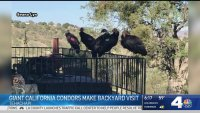 Giant California Condors Flock to Kern County Home