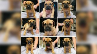 A photo of the adoptable hound puppies