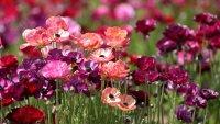 The Famous Flower Fields Will Stay Open a Little Longer