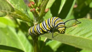 A caterpillar is pictured on a milkweed plant.