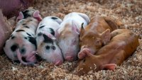 Adorable Piglets Just Made Their OC Fair 'Pig Cam' Debut